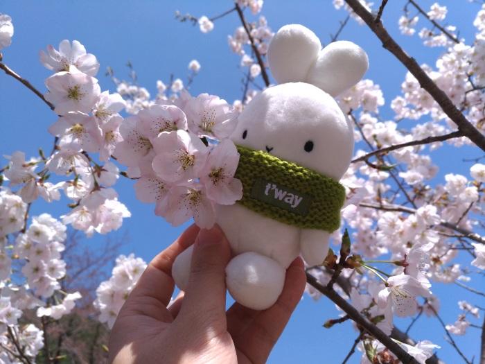 満開の桜に囲まれるティーウェイ航空の公式マスコットBooto(ブート)