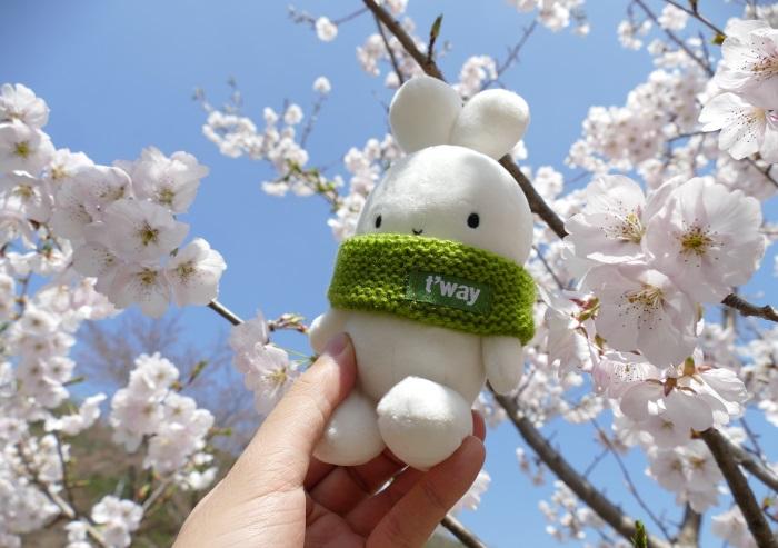 韓国・大邱(テグ)の満開の桜とティーウェイ航空のマスコットキャラクターBooto(ブート)